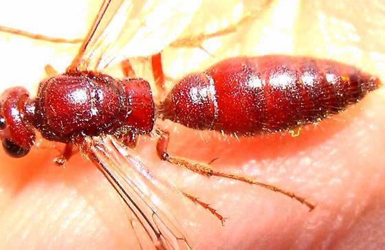 2nd Tiphiid Wasp (dorsal bright-light) - Colocistis crassa - male