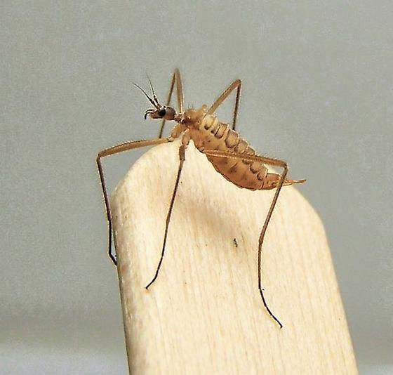 Snow Fly - Chionea scita - female