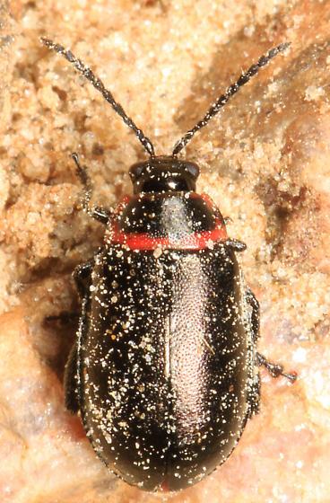 small beetle - Kuschelina vians? - Kuschelina vians