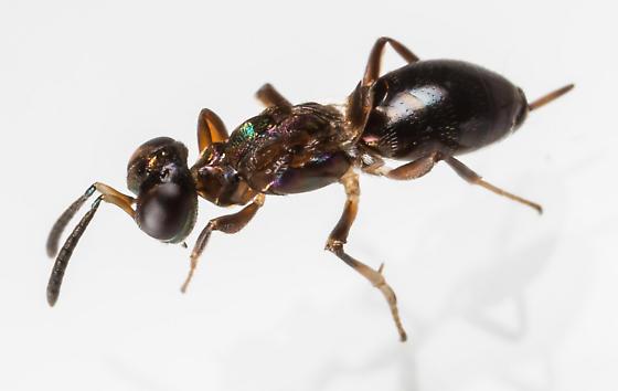 Eupelmus? - Eupelmus messene - female