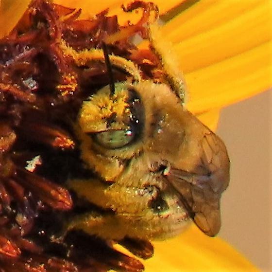 Green-eyed Golden Bee - Diadasia enavata