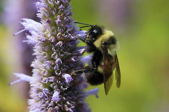 Rusty-patched Bumble Bee - Bombus affinis