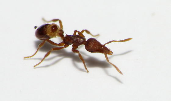 Mini Trap Jaw Ant with Springtail Prey - Strumigenys