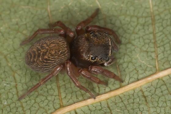 Chinattus parvulus - female