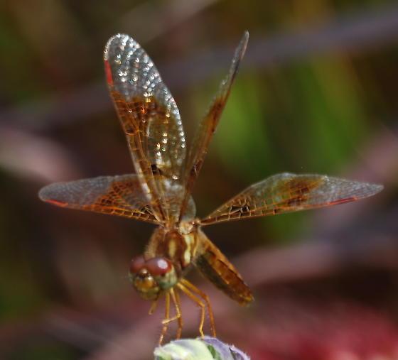 Odonata - Perithemis tenera