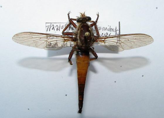 Proctacanthus rufus - First DE Datapoint - Proctacanthus rufus - female