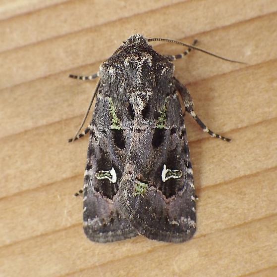 Noctuidae: Lacinipolia renigera - Lacinipolia renigera