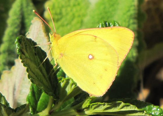 Sulphur butterfly - Colias harfordii - male