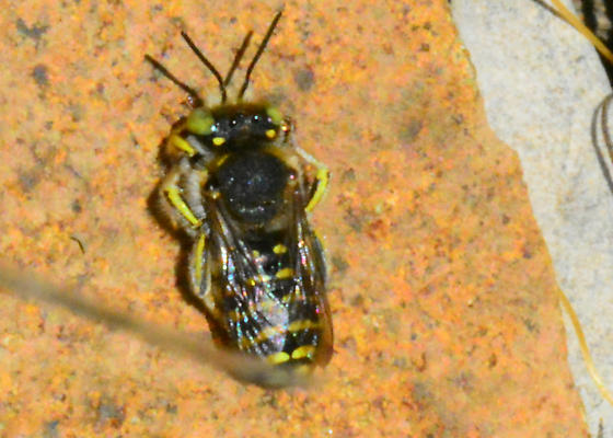 Nice uniform, huh? - Anthidium