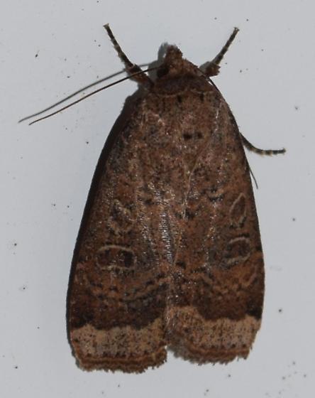 Abagrotis anchocelioides - Blueberry Budworm Moth - Hodges#11045 - Abagrotis anchocelioides