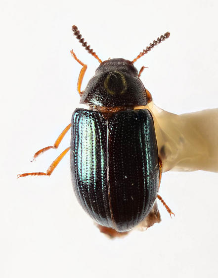 Neomida bicornis ? - Neomida bicornis - female
