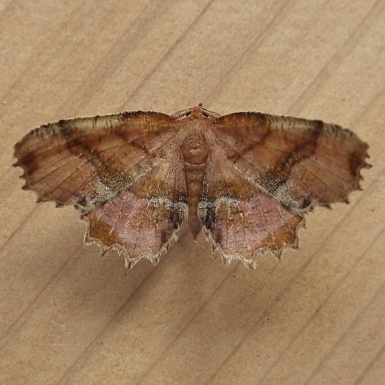 Geometridae: Cepphis armataria - Cepphis armataria