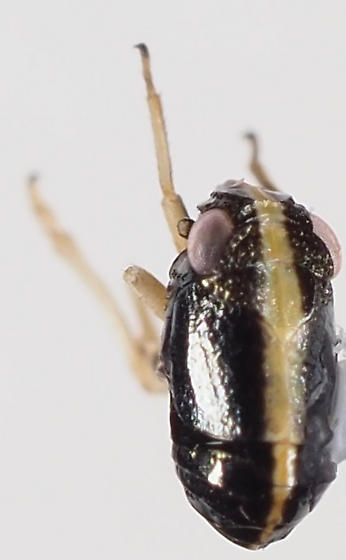 Caliscelidae Bruchomorpha - Bruchomorpha