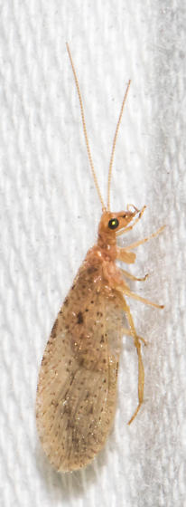 2018-09-07 Pale brown lacewing - Micromus