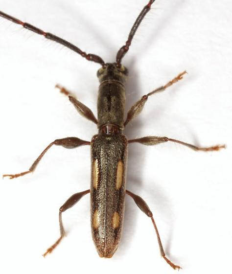 Neocompsa mexicana (Thomson) - Neocompsa mexicana