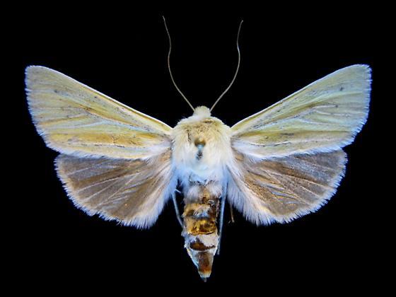 Copablepharon viridisparsa