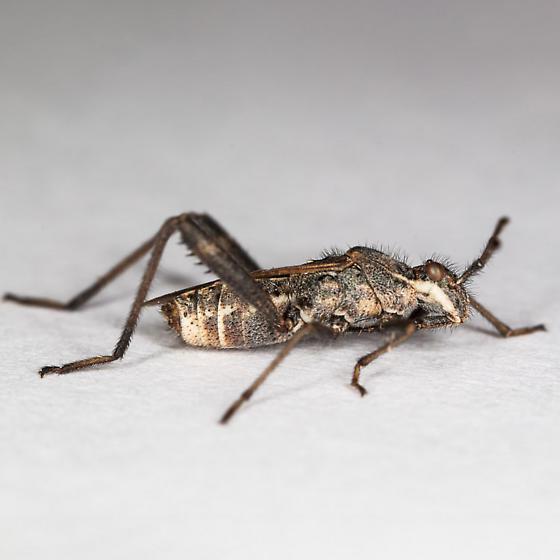unknown small bug - Tollius setosus