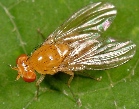 Neogriphoneura - Neogriphoneura sordida