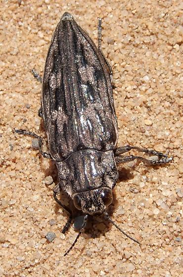 Dicerca divaricata - Chalcophora