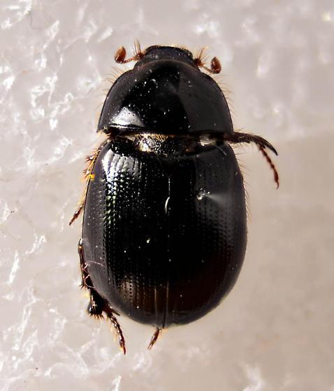 Black Scarab - Hybosorus roei