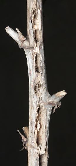 Prodoxidae, Bogus Yucca Moths, yucca stem  - Prodoxus