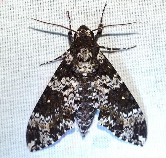 M. rustica - Manduca rustica