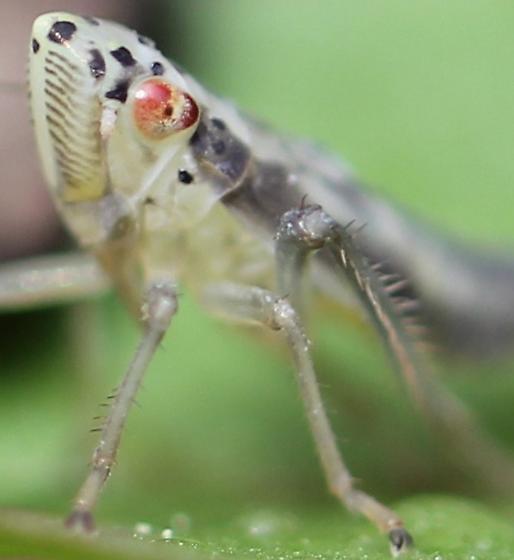 Spit Bug? - Pagaronia triunata