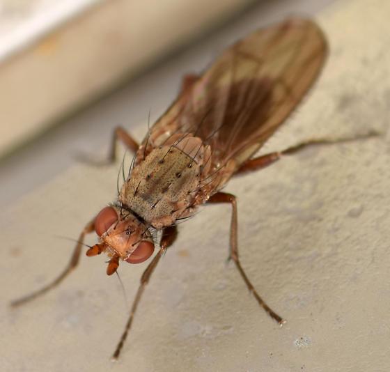 heleomyzid fly - Amoebaleria defessa