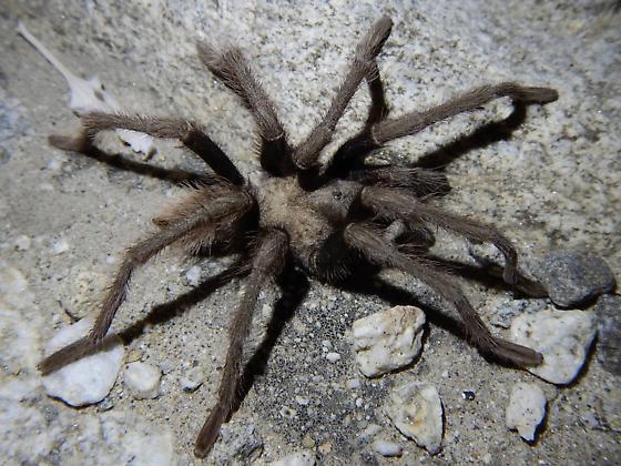 Tarantula - Aphonopelma - male