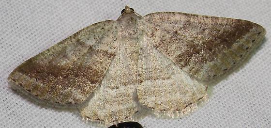 Pale Alder Moth - Hodges#6807 - Tacparia detersata
