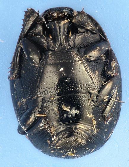 Histeridae  - Euspilotus