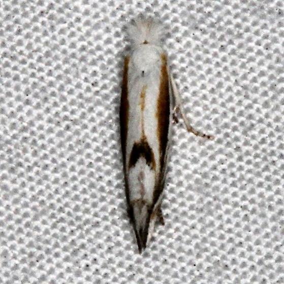moth  - Bucculatrix