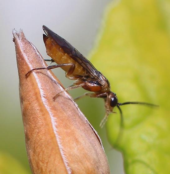 Azalea Sawfly (Nematus lipovskyi)