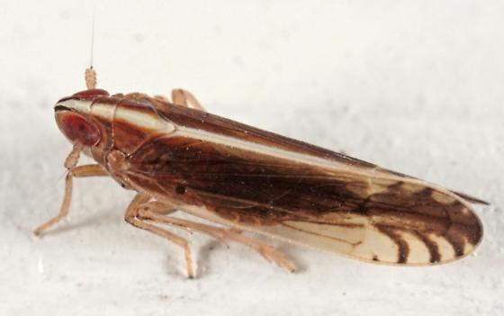 Planthopper - Stenocranus - Stenocranus brunneus