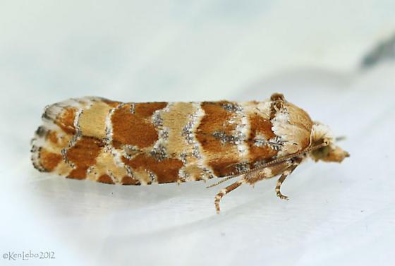 micro moth - Eucopina bobana