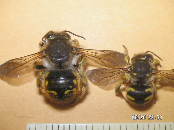 Anthidium manicatum (Megachilidae)  in Colorado Springs - Anthidium manicatum - male - female