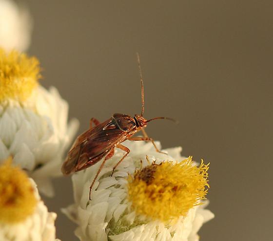 Lygus Bug - Lygus
