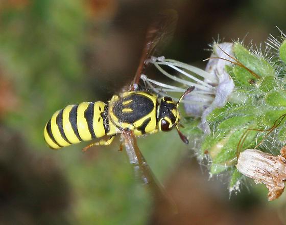 Wasp - Pseudomasaris edwardsii - female