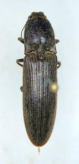 clicker - Limonius griseus - female
