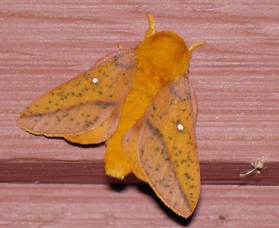 orange moth - Anisota stigma - male