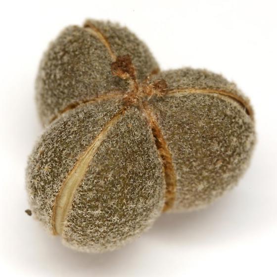 Narberdia aridulus Burke - Narberdia aridulus