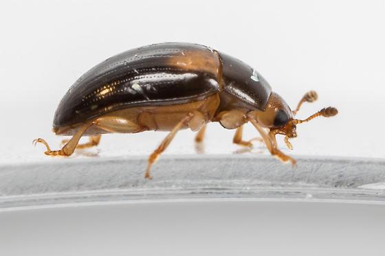 Beetle - Tritoma biguttata