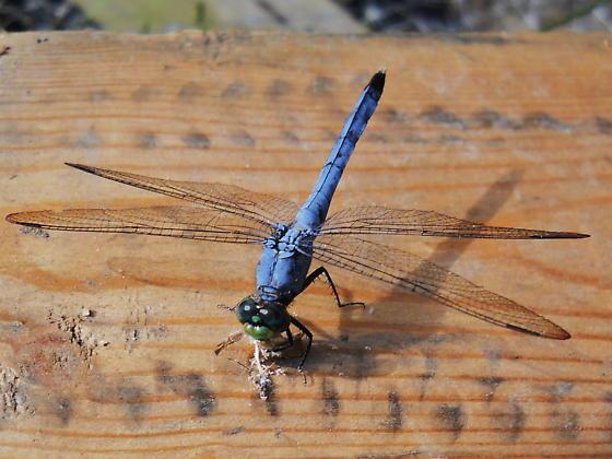 Blue Dragonfly - Erythemis simplicicollis - male