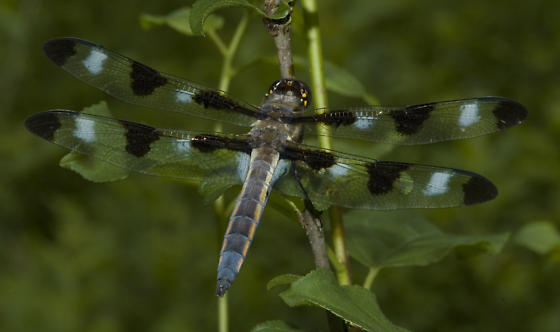 Young male - turning blue - Libellula pulchella - male