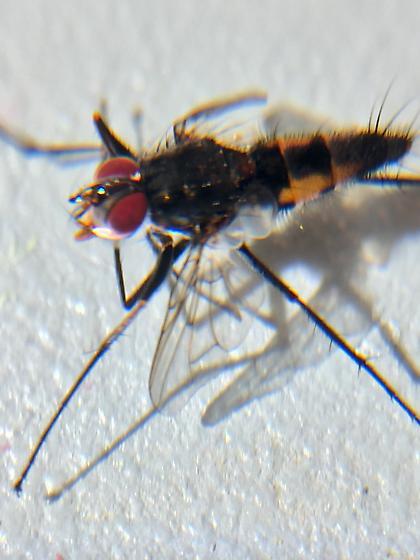 Diptera - Zelia