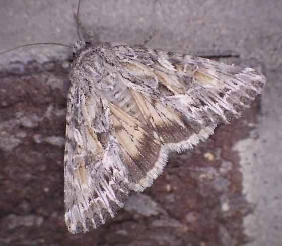 For Wyoming..June (Blairs Moth) - Apamea inordinata