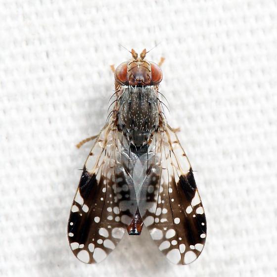 Tephritis pura - female