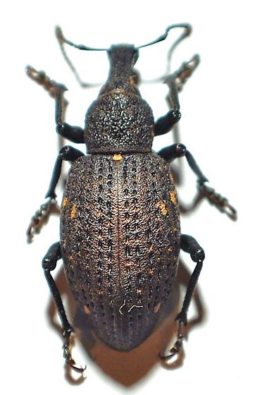Curculionidae - Plinthodes taeniatus