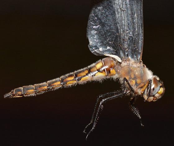 Robust Baskettail - Epitheca spinosa - female
