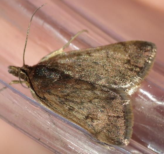Sunrise Moth - Loxostege thallophilalis